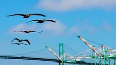 Birds of a feather * (Konabish ~ Greg Bishop) Tags: bridge blue sky pelicans birds animals clouds flying crane humor flight cranes seabirds birdsofafeather vincentthomasbridge sanpedrocalifornia containershipcranes