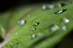 Regentropfen Macro (raynitzel) Tags: flower macro rain canon eos pflanze drop 100mm blume makro f28 regen raindrop tropfen regentropfen 40d