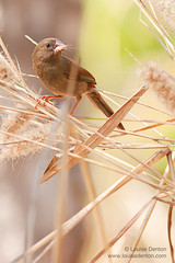 A juvenille crimson finch (Louise Denton) Tags: bird grass small young australia darwin finch juvenille crimsonfinch