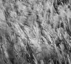 Blowing in the wind (l4ts) Tags: longexposure blur blackwhite derbyshire crops chesterfield minoltaamount