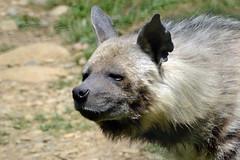 IENA STRIATA - Striped Hyena (Alessio Rizzi) Tags: park parco nature animals mammal nikon natura safari le 300 tamron 70 bergamo hyena animali striped bg 70300 iena hyaena striata tamron70300 mammifero cornelle faunistico valbrembo d3100 nikond3100