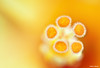 Pollens (bnilesh) Tags: abstract flower macro nature beauty closeup spring flora pattern hibiscus pollen