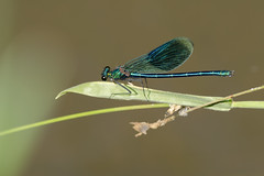 Beautiful Demoiselle (Calopteryx virgo) (Don Manolo) Tags: beautiful demoiselle beautifuldemoiselle calopteryxvirgo bosbeekjuffer