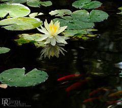 Water lily with goldfish (Dennis Cluth) Tags: fish flower art pond nikon 70300mm d90