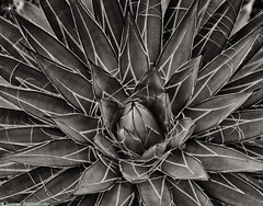 Patterns in Nature (mjardeen) Tags: seattle park blackandwhite bw plants white plant black macro texture succulent pattern g sony indoor conservatory organic fe volunteerpark 90mm pant oss 28 a7ii niksilverefex a7m2 sonyfe90mm28