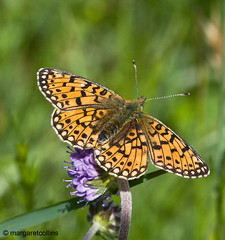 Small Pearl Bordered Fritillary (margaretc1946) Tags: butterfly insect sigma105mm smallpearlborderedfritillary brecknockwildlifetrust sssireserve