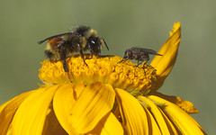 Hunt's bumble bee on sneezeweed (Jeff Mitton) Tags: huntsbumblebee bumblebee sneezeweed uncompahgreplateau colorado pollinator bee fly earthnaturelife wondersofnature