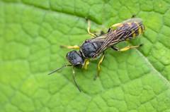 Unidentified wasp (stephensmith54831) Tags: macro sbr200 tokina100mm d7000