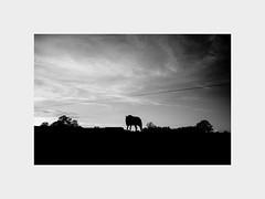 Evening... Tnder... (l1ze) Tags: 28mm blackwhite blackandwhite dk danmark denmark jutland jylland leica leicam leicam9p monocrome summer syd tnder blackandwhitephoto blackandwhitephotos bw evening horse l1ze lennartjoern sun