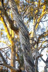 River Gum Trunks (Jan Diamond) Tags: eucalyptus rivergum trunks sunset