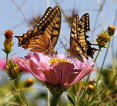 Two butterflies (maria xenou~photodromos~) Tags: nature natur insects insekte flower blumen greece griechenland moments momente sky himmel sommer summertime summer colours farben details         environment egology two perfect wings garden garten canoneos1100d