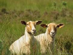 Lost (Manon van der Burg) Tags: sheep sheepisch lost waarisiedereengebleven nature heide kalmthout wandeling struinen ommetje natuurfotografie verdwaald natuurgebied letopdebordjes powerrrrshot canon summer buiten