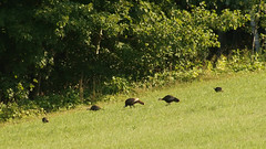 Wild turkeys, South China, Maine (2 of 4) (krisknow) Tags: maine southchina wildturkeys wildlife china unitedstates us