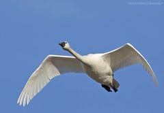 Tundra Swan AS (martinaschneider) Tags: swan tundraswan flight flying bird birds aylmer ontario spring bluesky