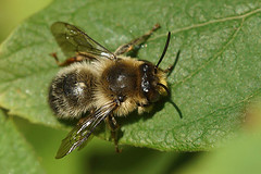 Andoornbij - Anthophora furcata male in the garden. (henk.wallays) Tags:
