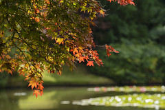Golden Leaves (hippyczich) Tags: leaves light golden acer maple sheffieldpark nationaltrust nature