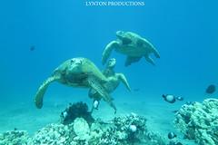 IMG_0131 copy (Aaron Lynton) Tags: lynton lyntonproductions honu turtle turtles sea hawaii hawaiian hawaiiangreenseaturtle green greenseaturtle maui diving snorkel apnea onebreath underwater canon g1x