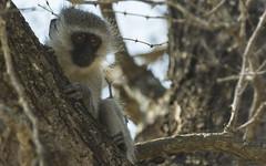Watching (philnewton928) Tags: vervetmonkey vervet monkey primate chlorocebuspygerythrus mammal animal animalplanet wild wildlife nature natural biyamiti kruger krugernationalpark africa southafrica outdoor outdoors safari nikon nikond7200 d7200