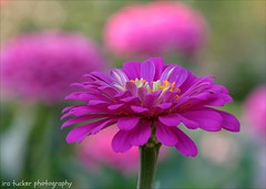 People are always complaining that life's not fair, but that simply isn't true.... (itucker, thanks for 2.4+ million views!) Tags: zinnia pink hppt macro bokeh dukegardens