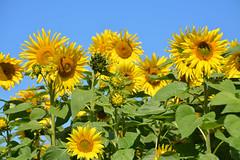 Sonnenblumenfeld in der Oberlausitz (Sandsteiner) Tags: sommer sonnenblumen sunflower natur blumen sandsteiner