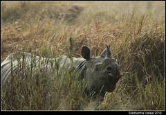 Rhino in the rain (Siddhartha Vatsal) Tags: rhino kaziranga