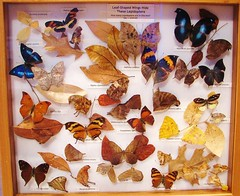 Leaf-shaped wings --  Butterfly collection at the University of Florida 9106 (Tangled Bank) Tags: florida museum natural history butterfly butterflies moth collection tray cabinet insect lepidoptera arthropod