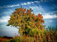 Apple tree (Firefly Ju) Tags: tree clouds apple summer landsape