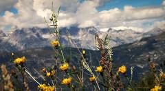 Ultima fioritura (Clamos) Tags: fioritura flowers montagne mountains fiori dolomitidibrenta dolomiti trentino