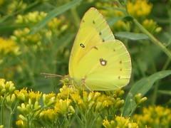 Orange Sulphur (Paul 49 55) Tags: maryland howardcounty columbia insect butterfly elkhorn lakeelkhorn sulphur orangesulphur
