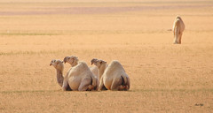 Best Friends! (Amro Afifi) Tags: camel desert beautiful lunch funny amroafifi amro