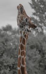 Higher & Higher (matthewschonert) Tags: giraffe animal mammal stretching minot nd zoo african tall higher rooseveltpark nature wildlife large