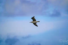 Gaviota sombra (Ignacio Javier ( Nacho)) Tags: flickr gaviotas facebook aves pginafotografia faunayflora santander cantabria espaa es