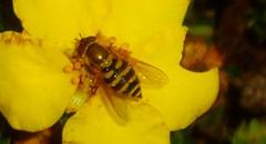 Polencount (ianharrywebb) Tags: edinburgh iansdigitalphotos flowers flower royalbotanicgardens
