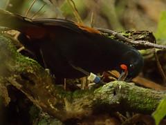 IMGP0783 Saddleback foraging in rotten wood Zealandia Wellington 24-09-16 (Donald Laing) Tags: new zealand wellington zealandia wildlife sanctuary animals plants donald laing