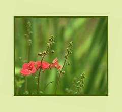 IMG_9249   Little Pink Flowers (Martina Morris ( Ireland) Thanks for your visit) Tags: pink flower macro nature closeup garden finegold mygearandme mygearandmepremium mygearandmebronze mygearandmesilver mygearandmegold mygearandmeplatinum finediamond martinasimpressionsofnature© fineplatium