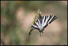 Flambé (sand_bcn) Tags: barcelona españa canon butterfly spain papillon mariposa espagne cataluña barcelone catalogne flambé okpano