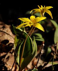 Dogtooth Violet (lanaganpm) Tags: dogtooth plantsandfungi