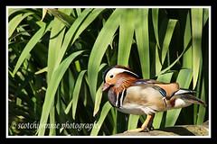 IMG_0003 (scotchjohnnie) Tags: trees sky bird grass photoshop canon washington beak feathers wildfowl scotchjohnnie