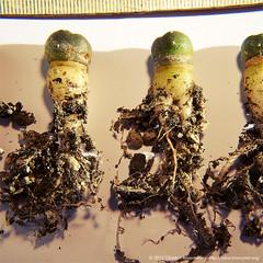 Mushrooms Unpotted (binaryriot) Tags: cactus roots seedling lophophora williamsii
