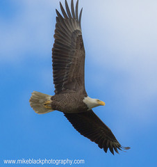 Canon 5D III @ 800mm (Mike Black photography) Tags: new blue sky 3 motion black bird mike wall clouds canon three photo eagle mark iii birding flight bald may super aves telephoto adobe jersey 5d dslr ornithology mk township 2012 800mm