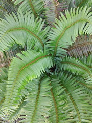 western sword fern (flora-file) Tags: california plants garden tour gardening wildflowers horticulture natives bringingbackthenatives