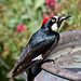 Acorn Woodpecker, Arroyo Grande, California