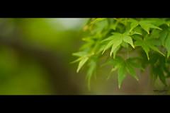 Spring (TaishiMatsumoto) Tags: park green leaves japan photoshop canon eos tokyo spring bokeh 85mm crop 7d 日本 東京 f18 shiodome 汐留 teien hamarikyuonshi imagemonster