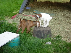 The goats Playing - May 19/12 (Primespot Photography) Tags: canada kids bc britishcolumbia goat goats fraservalley lowermainland babygoats playingkids playinggoats
