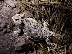 Horned Lizard (Reptilian_Sandwich) Tags: wild brown mountains newmexico walking spiky spring hiking rocky lizard scales hillside encounter ridged protected afternoonlight dappledlight hornedlizard liveandletlive blackrange naturalspotlight railroadcanyon ponderosaneedles