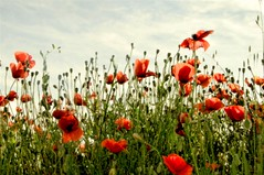 poppies tell me it is still spring (ana.gr.) Tags: red poppies amapolas ababoles