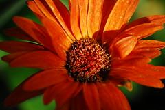 GERBERA (ruha78) Tags: orange flower macro amazing gerbera orangeflower daisy gerber orangegerbera