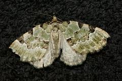 Green Carpet (Colostygia pectinataria) (bramblejungle) Tags: macro insect moth greencarpet colostygia pectinataria nationalmothweek