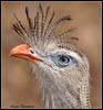Seriema (dralun10) Tags: birds ngc npc secretarybird seriema southamericanbirds mygearandme mygearandmepremium mygearandmebronze mygearandmesilver mygearandmegold allofnatureswildlifelevel1 allofnatureswildlifelevel2 allofnatureswildlifelevel4 allofnatureswildlifelevel5 allofnatureswildlifelevel6