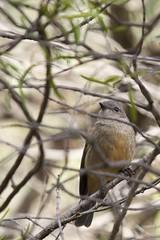 Pachycephalidae - Golden Whistler (sunphlo) Tags: australianbird goldenwhistler pachycephalapectoralis